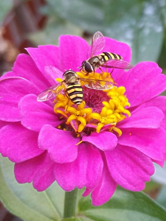zinnia & bees