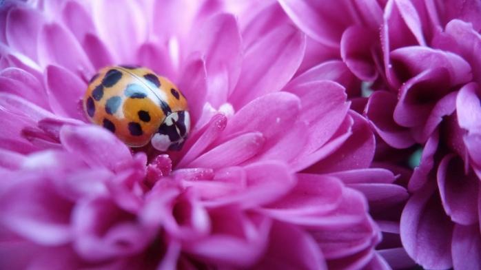 ladybug on zinnia