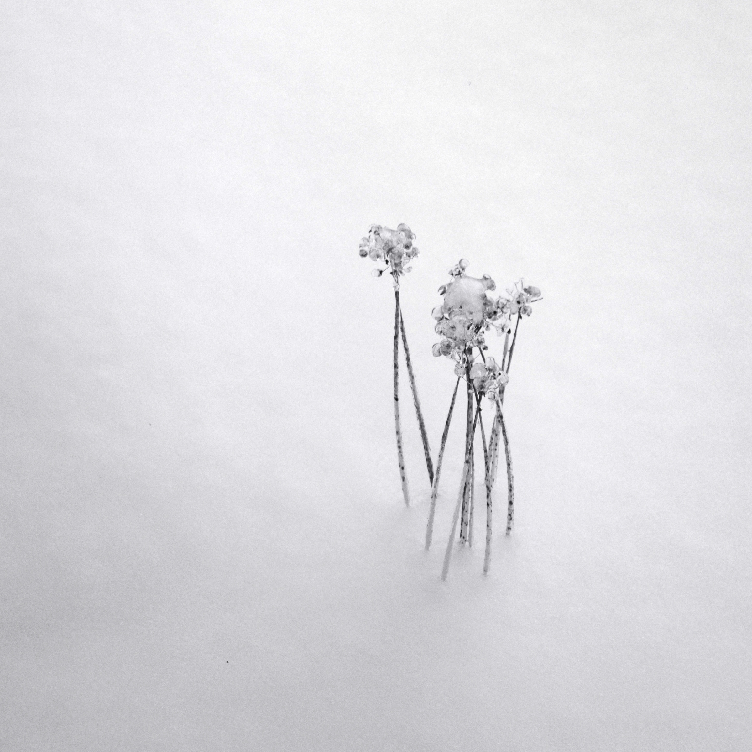 frozen seed heads in snow drift