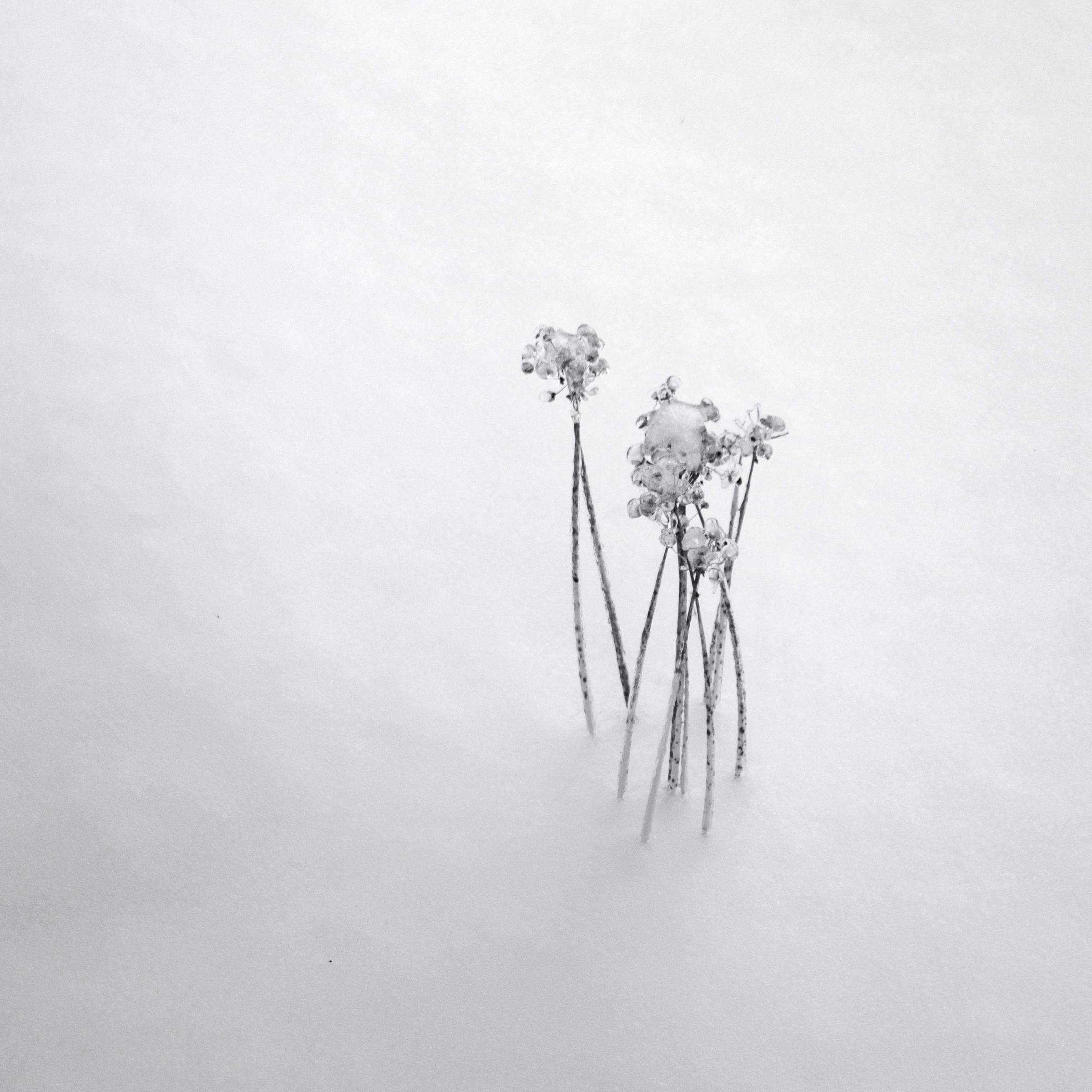 frozen seed heads in snow drift
