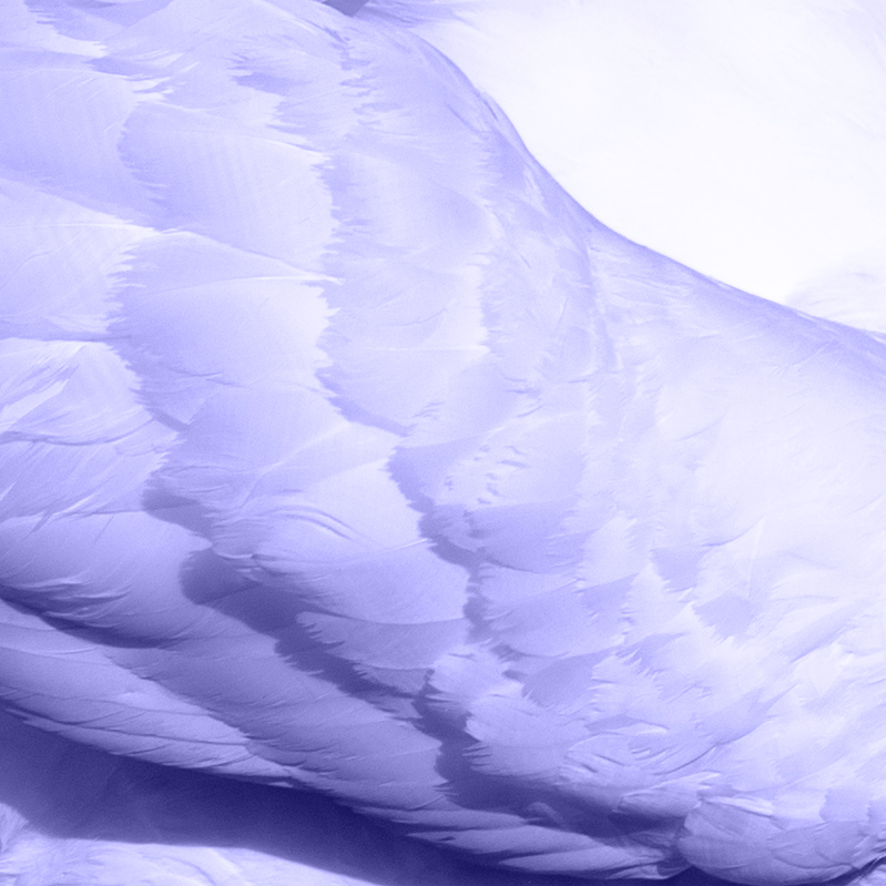 close up of swan wing