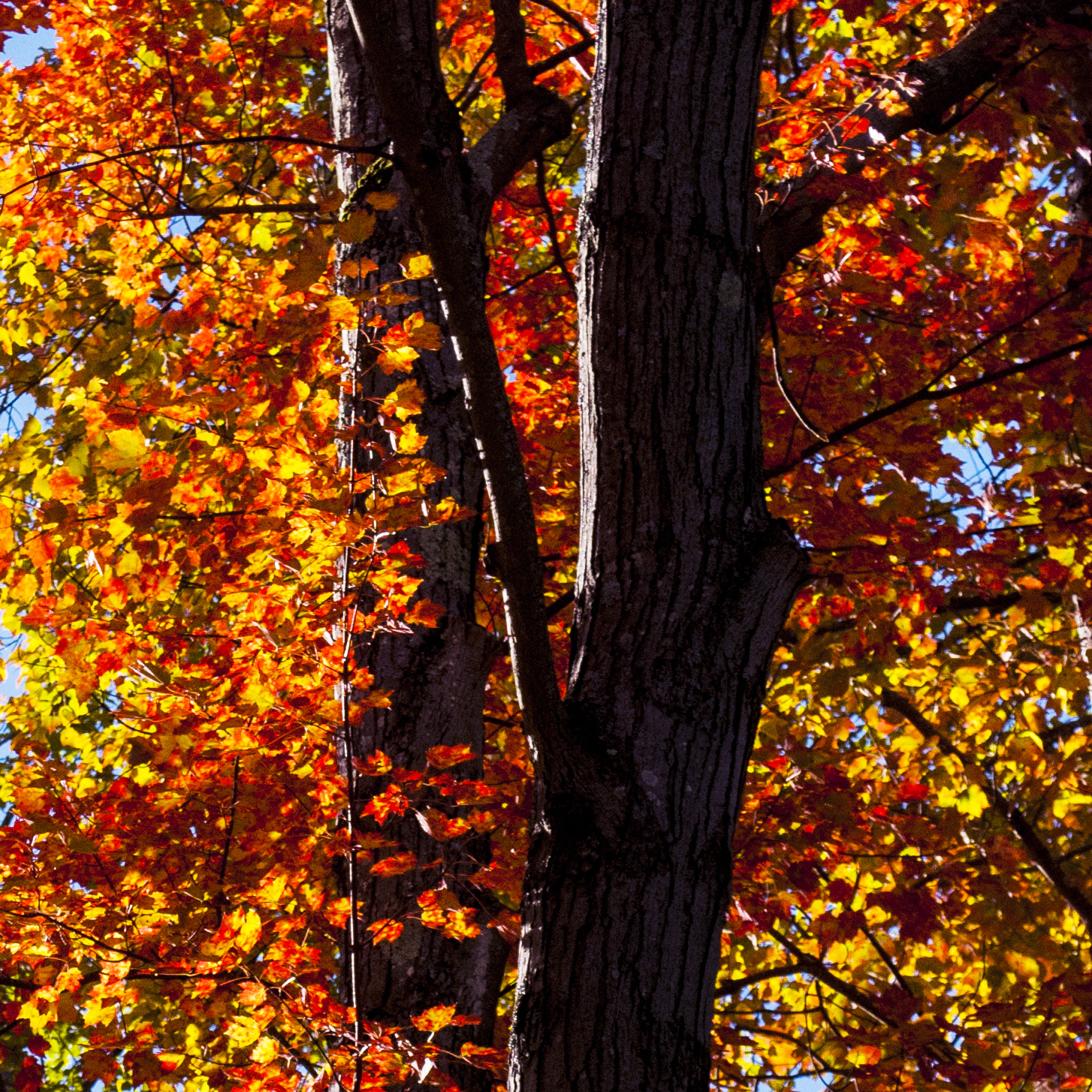 backlit red maple leaves glowing against shadowed bark