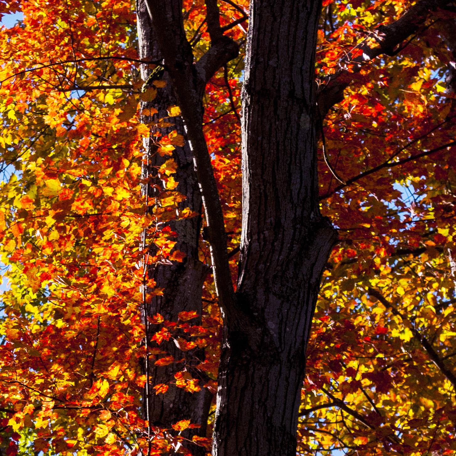 backlit red maple leaves glowing against shadowed bark