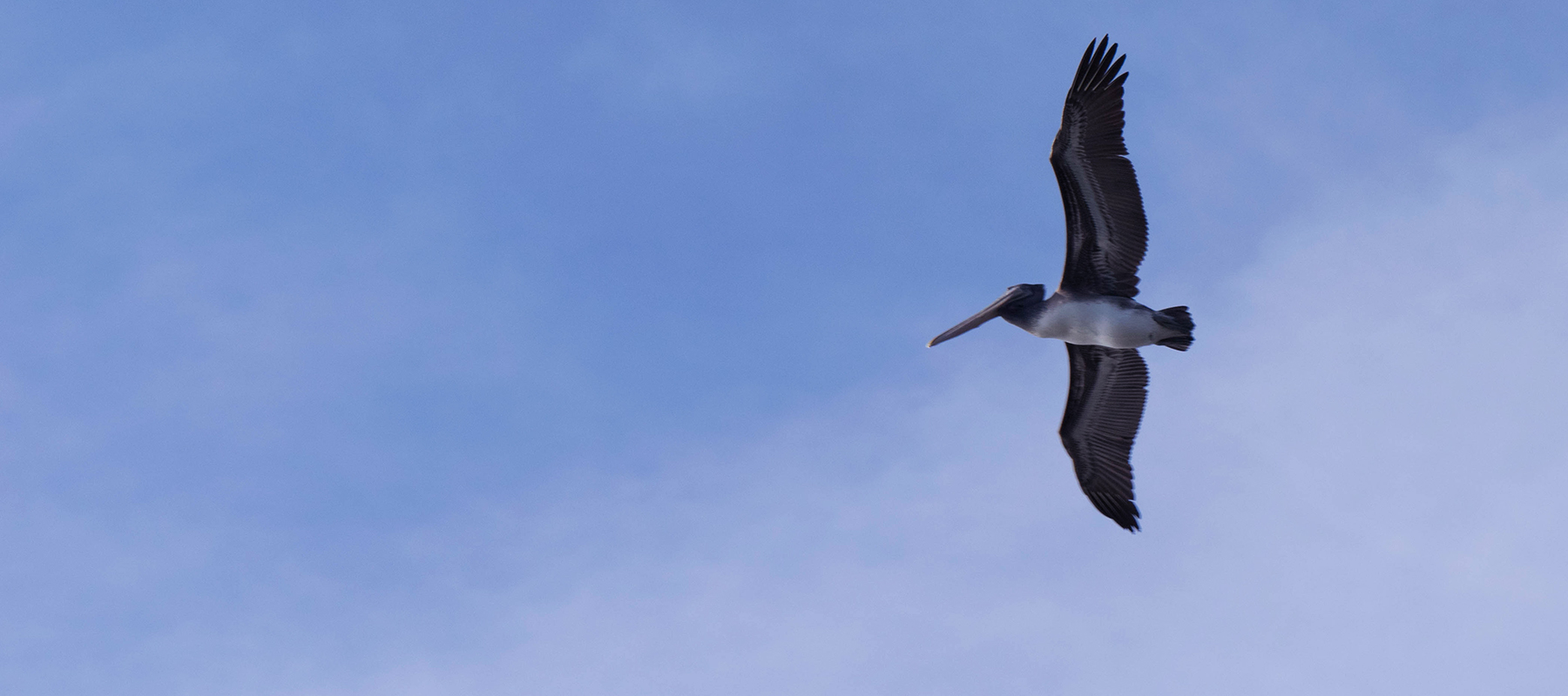 pelican flying in blue sky