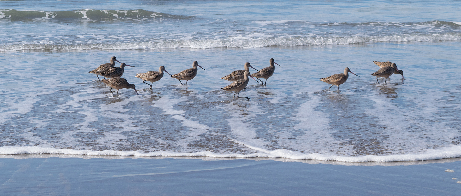 shorebirds wading in waves