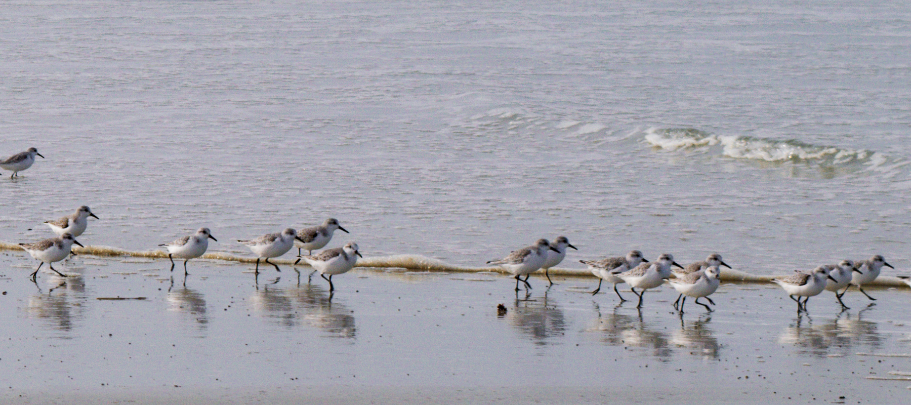 Sanderlings running along the ocean edge