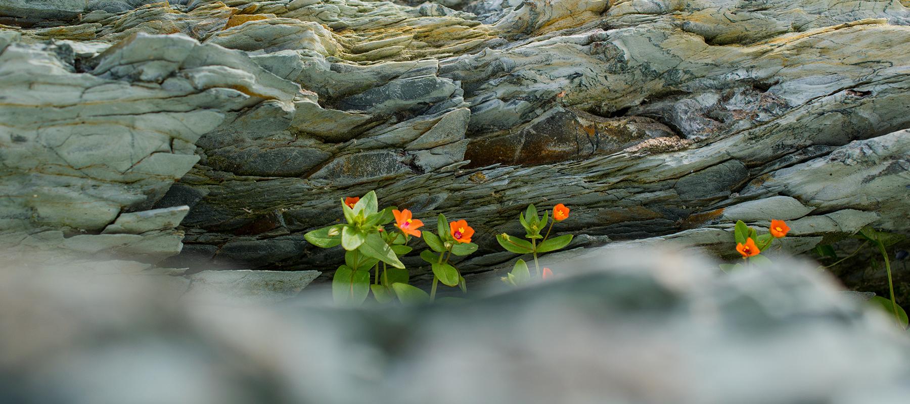 small orange flowers blooming in costal rock